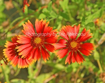 Red Orange Yellow Fire Wheel Flower Nature Photography Flower Photograph Picture