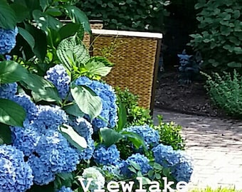Hydrangea Blue or Pink Endless Summer