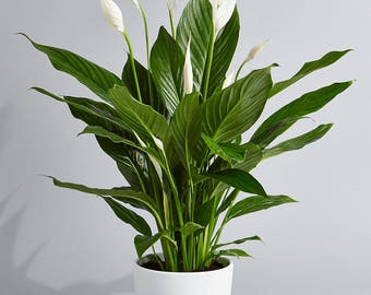 Peace Lily Air Purifying Plant - Indoors - Easy Care