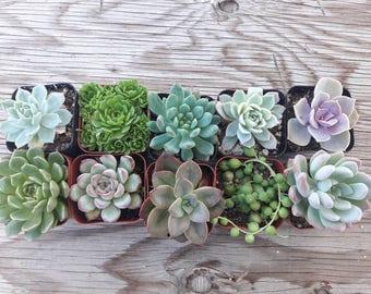 10 succulents pots 2' rooted plants , send it whit pot.
