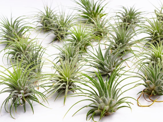 100 wholesale air plant ionantha guatemala pack succulent for Cheap air plants