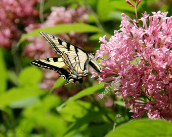 Nature Photography: Canadian Tiger Swallowtail Butterfly 2 printed on photo paper, canvas, mug, notebook, iPhone/iPad case etc.