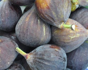 Chicago Hardy Fig Fruit Tree