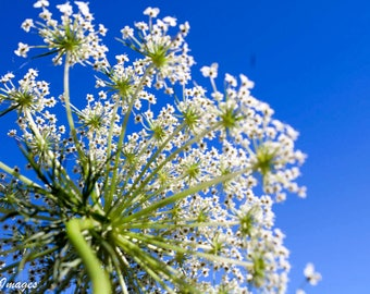Queen Anne's Lace Photo