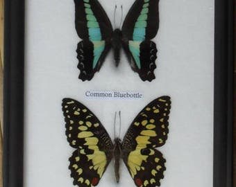 REAL 4 FRAME BUTTERFLY Wall Hanging Collection Taxidermy In Framed