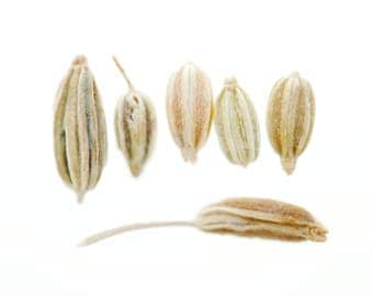 Fennel seed, magnet