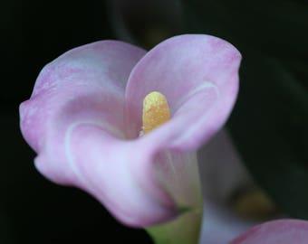 Pink Cala lily
