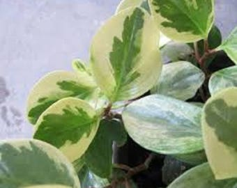 1cutting with roots Peper, American Rubber Plant, Baby Rubber Plant,