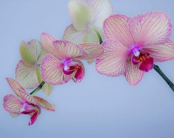 Beautiful Orchid Print on Canvas I