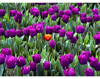Tulip Photo Card, Flower Notecard, Purple Tulips Card,  Skagit Valley Tulip Festival Blank Card, Mother's Day Card or Just Because Card