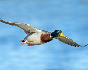 Mallard Duck Photo Print, Large Art Print Nature Photography, Affordable Wall Art