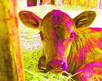 "Pink Calf - PRINT - (14"" x 11"") FREE SHIPPING!"