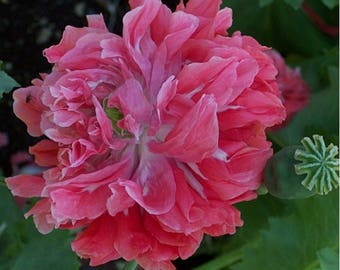 Peony Poppy- Frosted Salmon- 100 Seeds