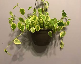 Variegated Philodendron Peperomia
