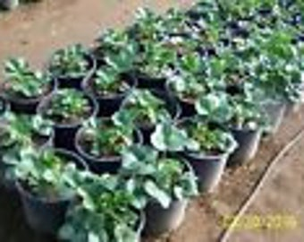 "ORGANIC STRAWBERRY PLANTS - 1/4"" root -seascape ,everbearing 130 count U.S.A."