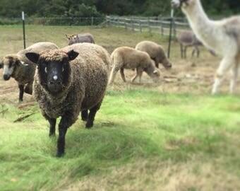Assumpta the sheep