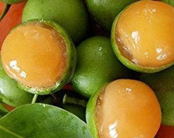 Quenepa Spanish Lime Mamoncillo live fruit tree from Puerto Rico tree seedling tree 100% organic urban organically grown