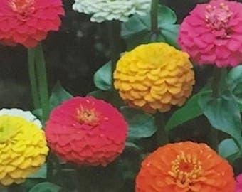 Zinnia Seeds Ferry's Best Dwarf Mix Flower seeds Plantation