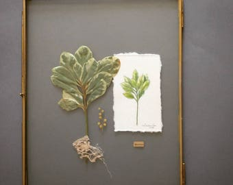 Large frame glass Herbarium - plant and Botanical drawing