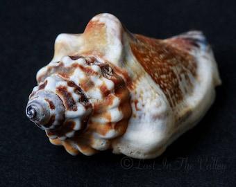 Nautical Decor, Still Life Print, Fine Art Photography, Beach Photo, Seashell Photograph, Shell Picture, Ocean, Coastal, Brown, Beige, Black