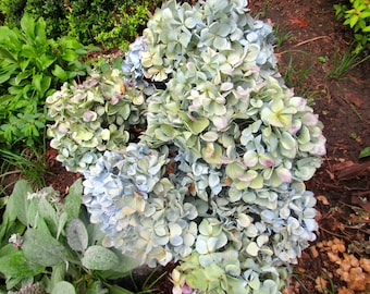 12 Green blue dried hydrangea flowers wedding P