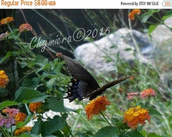 SALE Spicebush Swallowtail. Photography Giclée Print.  Butterfly Series Art Photography. Black winged Butterfly with Blue spots. Orange Blos
