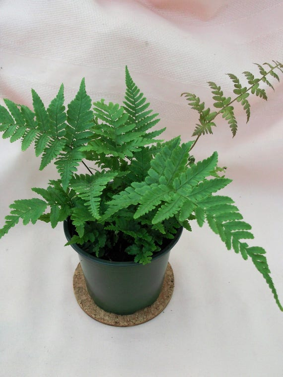 """Fern Assortment in 4"""" pots are the perfect tropical house plant."""