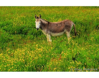 Fine Art Color Photography of Donkey in a Field of Yellow Flowers in Connemara Ireland