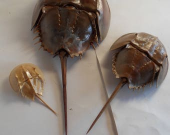 """Set of 3 horseshoe crabs, horsehoecrabs,Limulidae, Florida,shell only, 5""""-16"""""""
