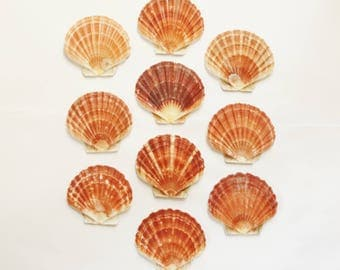 """10 COLORFUL SCALLOP SHELLS From the West Coast of Scotland - Medium Size, Average 4"""" (10.8 cm) x 4 1/4"""" (11 cm) - Lightly Varnished"""