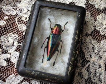 A Jeweled Beetle In An Antique Specimen Tin Waiting For A Bug Lover