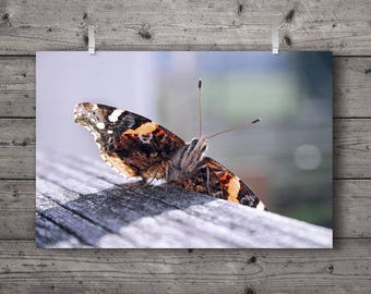 Red Admiral Butterfly / Vanessa atalanta Painted Lady Insect Nature Photography Print / Outdoors Rustic Home Decor / Soft Wall Art