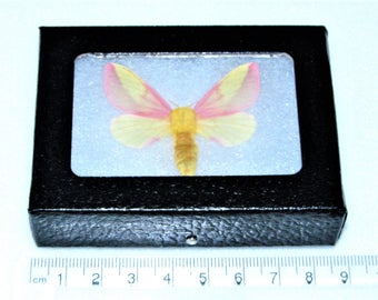 Real framed pink yellow north american rosy maple moth Dryocampa rubicunda