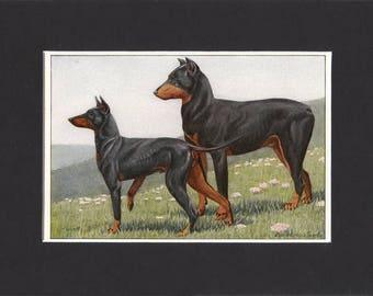 Dobermann 1919  Vintage Dog Print by Louis Agassiz Fuertes Small Print of Picture Mounted Dobermann Pinscher Print Manchester Terrier Print