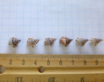 Amazing Gyre Shells ~ 6 Rare and Beautiful Sea Shells of Maui, Hawaii