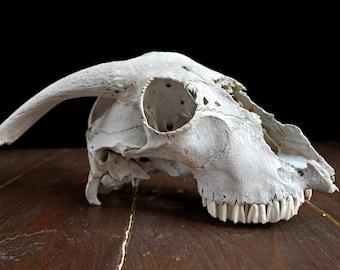 Real Ram Skull , Baphomet , Goth Decor , Macabre Voodoo Supply , Pagan Voodoo , Animal Bones Ram Horns , Taxidermy , Cruelty Free Oddities