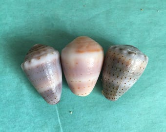 3 Surf Tumbled Abbreviated Hawaiian Cone Shells (Lot D)