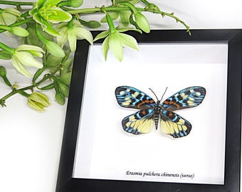 Insect Taxidermy framed real moth collection for sale Erasima pulchera chinensis