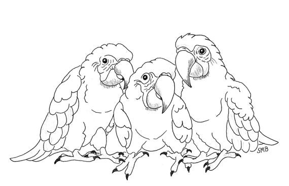 Sally Blanchard Pen and Ink Cartoon Drawing of three baby Green-wing Macaws on acid free paper