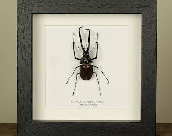 Darwin's beetle in Box Frame (Chiasognathus grantii)