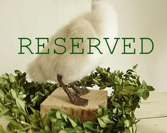 Reserved for Nicole!!!!!!    Rare!!! Beautiful vintage swan chick/duckling TAXIDERMY....CHARMANT!