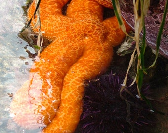 "Starfish Photography, Orange Starfish, Sea Star, Purple Urchin, Tide Pool, Ocean Decor, Nature Print, Sea Life, Home Decor, ""It's A She 2"""