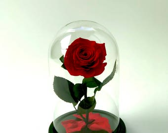 Bella Rose  ( The Beauty and the Beast ), Forever rose - Medium  10'' H x 7'' D  -She will Love it