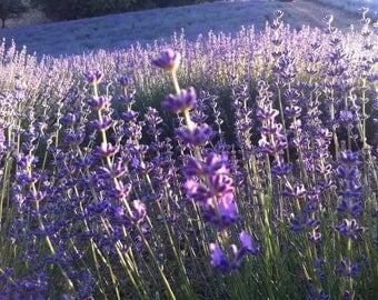 1 LB Organic Dried Lavender buds/flowers Culinary grade/Edible Bulk (1 Pound),  grown in Greece!