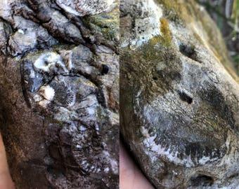 XL Multi Fossils in Limestone ~ Bryozoan, Horn Corals, Crinoids, Lace Fenestella, Unknown Fossils ~ Michigan ~ Raw, Natural, Unpolished