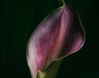 Red Calla Lily #1
