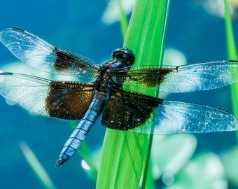 Dragonfly wall art, dragonfly print, dragonfly photography, dragonfly fine art, blue dragonfly print, green dragonfly print, dragonfly art