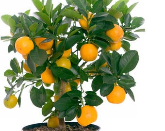15 Edible Fruit Orange Tree Seeds, Orange Fruit Fresh Exotic Tree Seeds, Bonsai Citrus Orange Tree, Orange Plants , Home Citrus Tree,