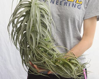 LARGE Air Plant Straminea Tall White, Hanging Air Plant, Rare Air Plants, Succulent, Tropical Plants Hanging Plant, Indoor Plants Houseplant