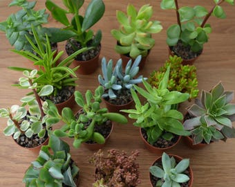 Mini succulents -  Wedding favours - Indoor house plants - Fairy gardens - Succulents and cactus - Terrarium plants - 5.5cm plants